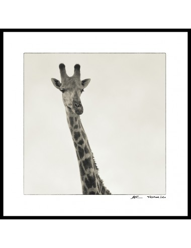 Portrait of giraffe,...