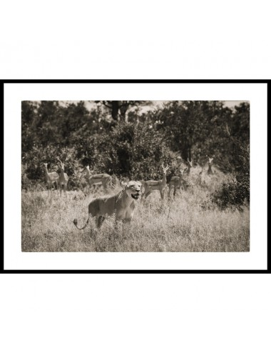 Lioness and impalas,...