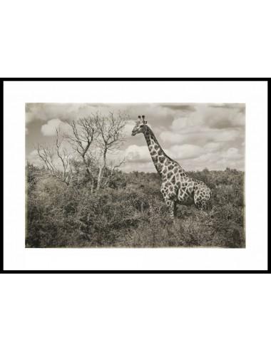 Giraffe in landscape,...
