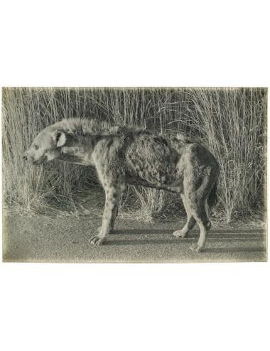Portrait of Hyena, février...