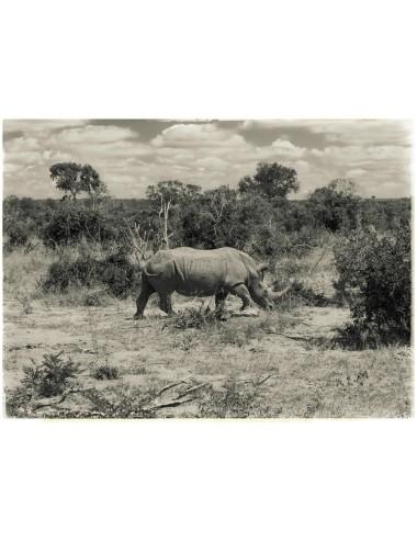 Rhino in landscape, Février...